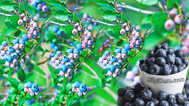 Maviyemiş-Blueberry: Yaban Mersinin Faydaları Ve Zararları