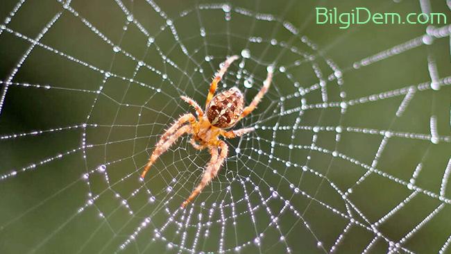 Örümcekleri Öldürmeden Onlardan Kurtulmanın Doğal Yolları