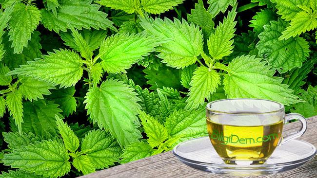 Isırgan Otunun Yararları – Isırgan Otu Çayı Nasıl Yapılır