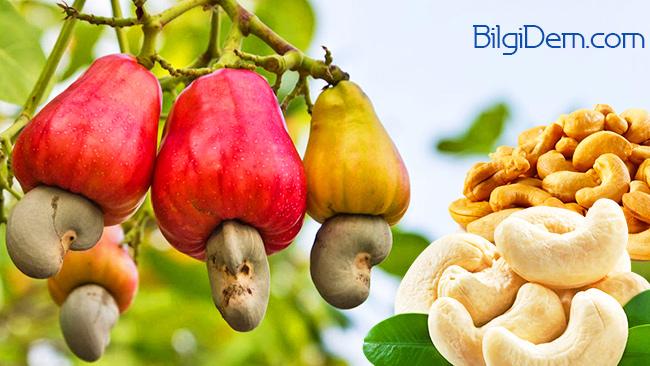 Kaju – Kaju Elması- Cashew – Kajunun Faydaları Nelerdir?