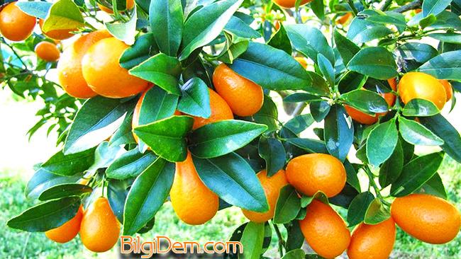 Kumkuat – Kamkat – Altın Portakal Nedir?