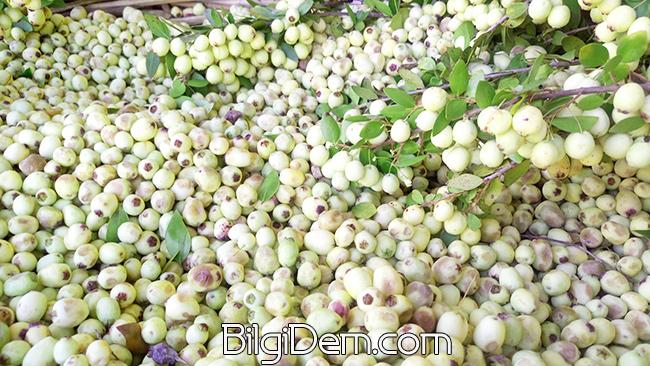 Myrtus communis – Hambeles- Murt – Mersin Meyvesi Faydaları