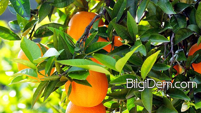 Citrus Sinensis: Portakalın Faydaları Ve Vitaminleri Neler