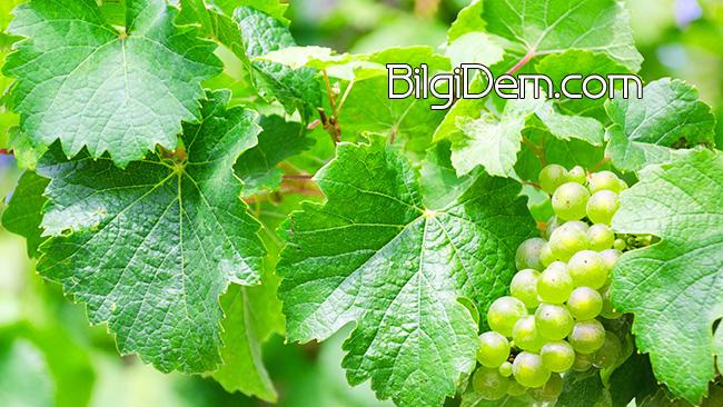 Üzüm Yaprağının Sağlık İçin Faydaları Nelerdir?